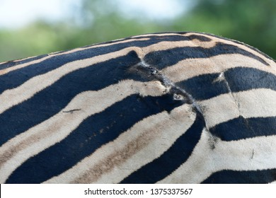 scar from lion attack,zebra in Kruger national park,South Africa