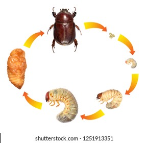 Scarab beetle (Coleoptera: Scarabaeidae). Development stages isolated on a white background