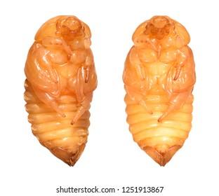 Scarab beetle (Coleoptera: Scarabaeidae). Pupa. Isolated on a white background