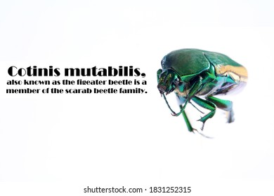 Scarab Beetle. Macro Close Up view of the  Cotinis mutabilis, AKA, Fig Eater Beetle and the Green Fruit Beetle. Isolated on white. Its habitat is primarily the southwestern United States and Mexico.