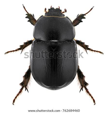 scarab beetle pentodon algerinus scarabaeidae coleoptera stock photo