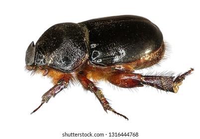 Scarab beetle (Scarabaeidae; Coleoptera). Isolated on a white background