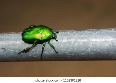 Scarab shimmer,golden beetle