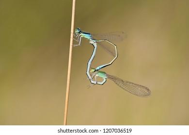 Scarce blue-tailed damselfly or small bluetail (Ischnura pumilio)
