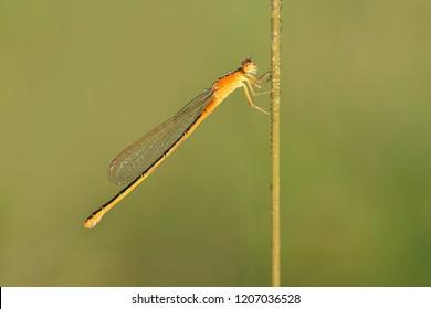 Scarce blue-tailed damselfly or small bluetail (Ischnura pumilio), female