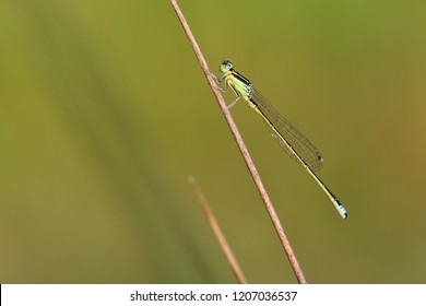 Scarce blue-tailed damselfly or small bluetail (Ischnura pumilio), male