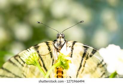 Scarce swallowtai(Iphiclides podalirius)