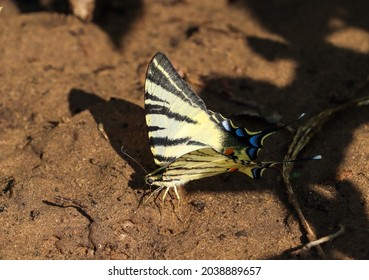 Scarce swallowtail butterfly (iphiclides podalirius) the sail swallowtail or pear-tree swallowtail on the ground
