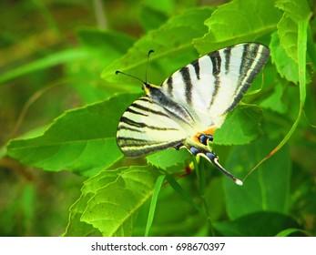 scarce swallowtail butterfly, Iphiclides podalirius,