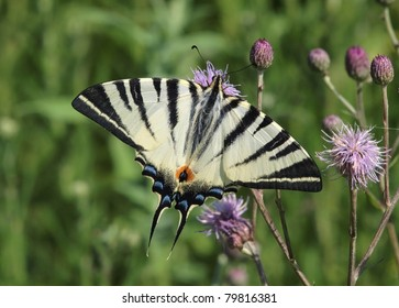 Scarce Swallowtail butterfly (Iphiclides podalirius)