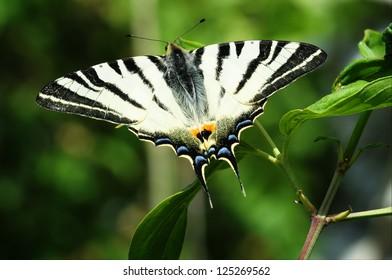 Scarce Swallowtail butterfly macro