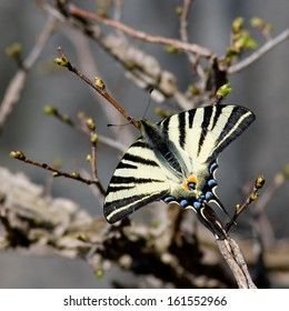 Scarce swallowtail butterfly in natural habitat (Iphiclides podalirius)