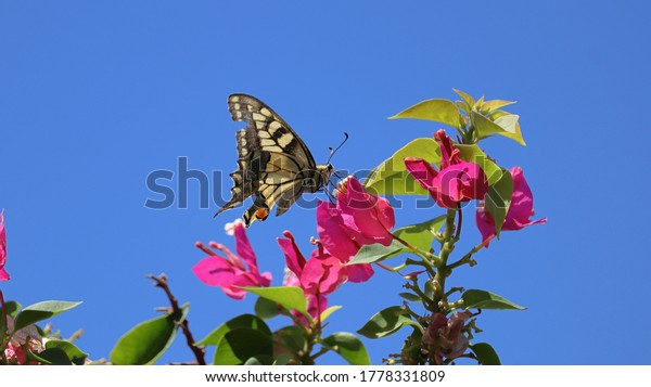 scarce-swallowtail-butterfly-on-bougainv