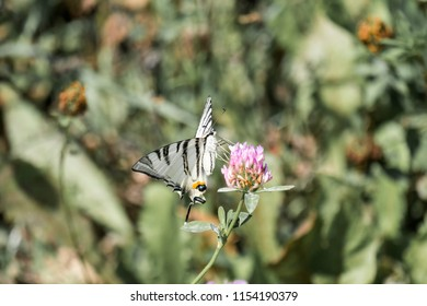 Scarce Swallowtail. Butterfly with snow-white base colour boldly marked with black tiger-like stripes running from the leading edge of the forewings (Iphiclides podalirius)