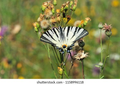 The Scarce Swallowtail it is also called Sail Swallowtail or Pear-tree Swallowtail.Podalirius (Latin Iphiclides podalirius) - Butterfly sailboats family (Papilionidae).