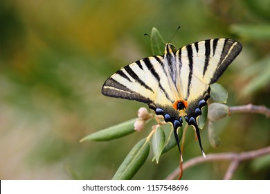 The scarce swallowtail in Croatia oliva tree in Europe