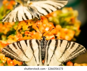 Scarce swallowtail (Iphiclides podalirius) European Scarce swallowtail butterfly macro close-up shot.