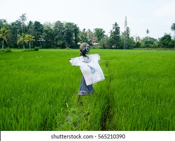 Scarecrow in green rice paddy field Sri Lanka. A scarecrow or hay-man is a decoy or mannequin in the shape of a human. Oryza sativa