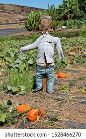 A scarecrow mounted in a pumpkin patch on a sunny autumn day at Tanaka Farms in California