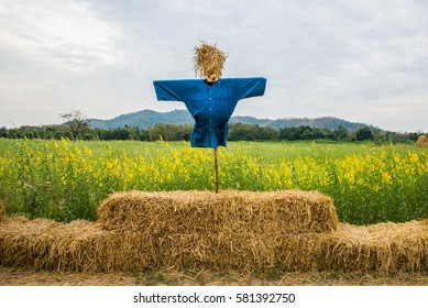 Scarecrow on straw bale in a field Crotalaria.
