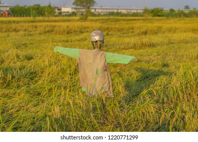 Scarecrow in a rice field.