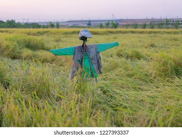 A scarecrow in a rice field.
