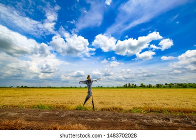 Scarecrow or straw man ware the dark blue Tartan or Plaid shirt in the gold colors rice field with blue sky and cloud abstract  background