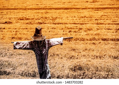 Scarecrow or straw man ware the dark blue Tartan or Plaid shirt in the abstract pattern gold colors rice field background for Halloween concept