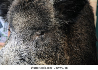 Scarecrow of a wild boar close-up.