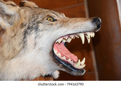 Scarecrow young Caucasian wolf head with open mouth and teeth
