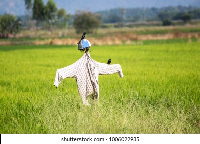 Scarecrows with birds in the rice farm.