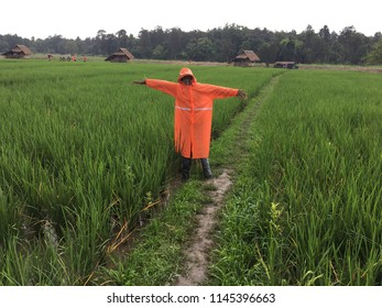 Scarecrows at a rice field. Scarecrow standing in a rice farm. Rice field background with scarecrow