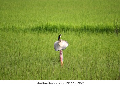 Scarecrows at a rice field. Scarecrow standing in a rice farm. Rice field background with scarecrow.
