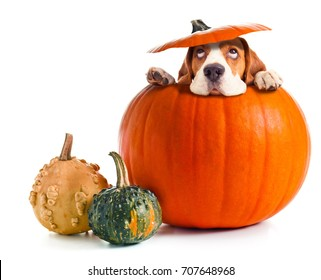 Scared beagle in pumpkin isolated on a white background. Halloween background , copy space for your text.
