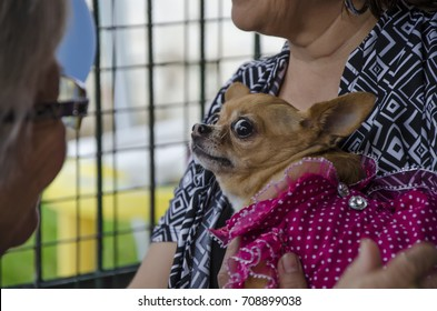 Scared chihuahua