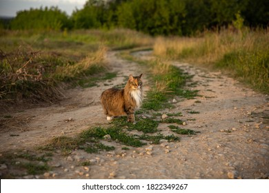 Scared Cute fluffy pet cat with green eyes on a rural road by a field at sunset in summer