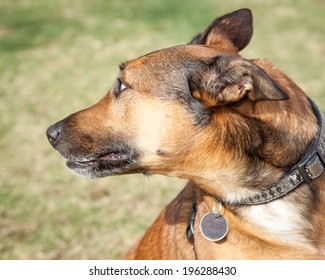 Scared and fearful brown and black dog looking behind with whites of the eyes showing