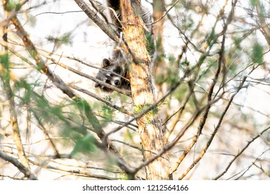 Scared, hiding one wild raccoon climbing pine tree trunk, foraging, looking for food, hanging in park outside, outdoors, looking for forage, feed