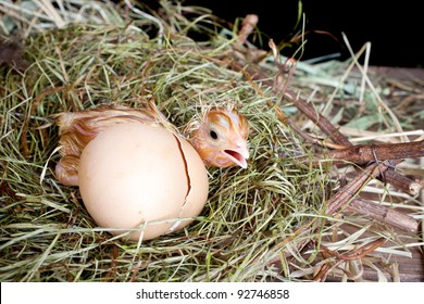 Scared little newly hatched chick hiding behind its egg