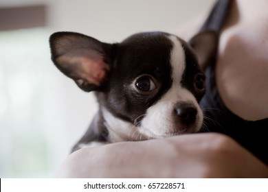 Scared little puppy in the hands of the new owner. Cute black and white puppy close up.