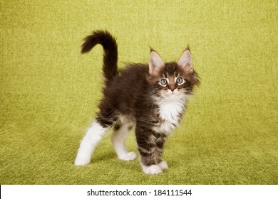 Scared looking kitten with raised hair, arched back and curled tail on green background