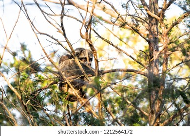 Scared one wild raccoon climbing pine tree trunk, foraging, looking for food, hanging in park outside, outdoors, looking for forage