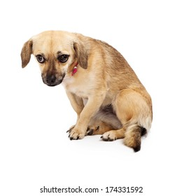 A scared and shy small rescue dog looking away