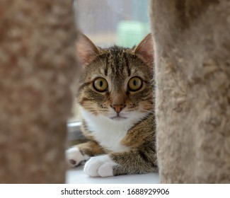 A scared striped cat with yellow eyes hiding behind cat post
