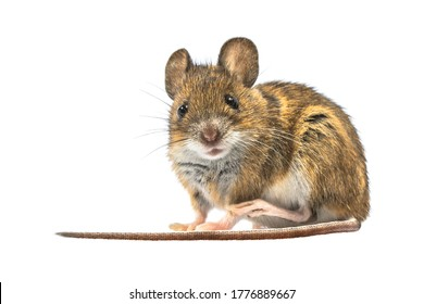 Scared Wood mouse (Apodemus sylvaticus) isolated on white background. This cute looking mouse is found across most of Europe and is a very common and widespread species.