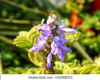 Scaredy Cat plant, Spur Flowers, plectranthus caninus