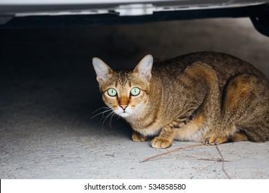 scaredy-cat cat lying under the car
