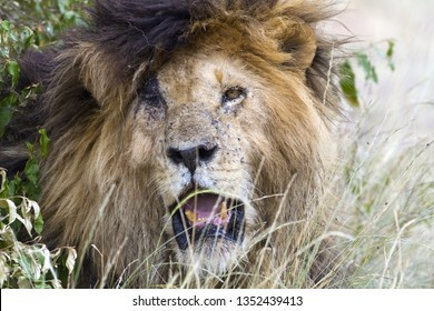 Scarface, Iconic African Lion in Kenya
