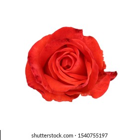 scarlet blooming rose close-up isolated on white background, natural flower color