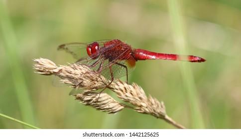 Scarlet Darter - Crocothemis erythraea